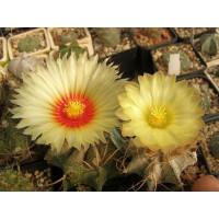 Astrophytum capricorne смес