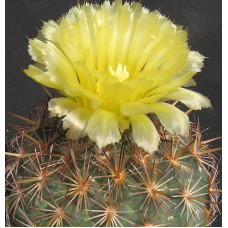 Coryphantha echinoidea