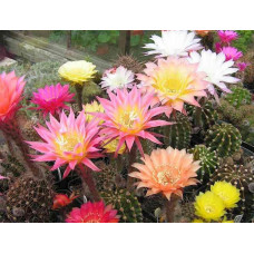 Echinopsis смес