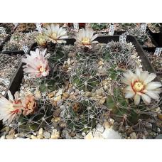 Gymnocalycium castellanosii ssp. acorrugatum