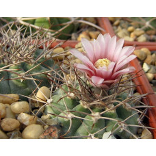 Gymnocalycium castellanosii v. armillatum