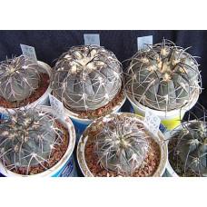 Gymnocalycium spegazzinii v. recii