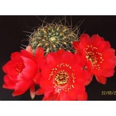 Lobivia sanguiniflora