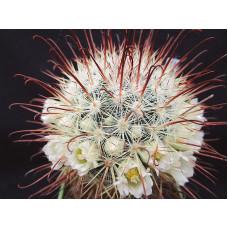 Mammillaria moelleriana