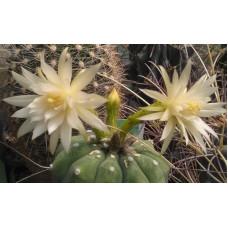 Matucana madisoniorum v. albiflora