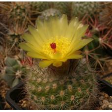 Notocactus brederooianus