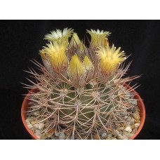 Pyrrhocactus bulbocalyx