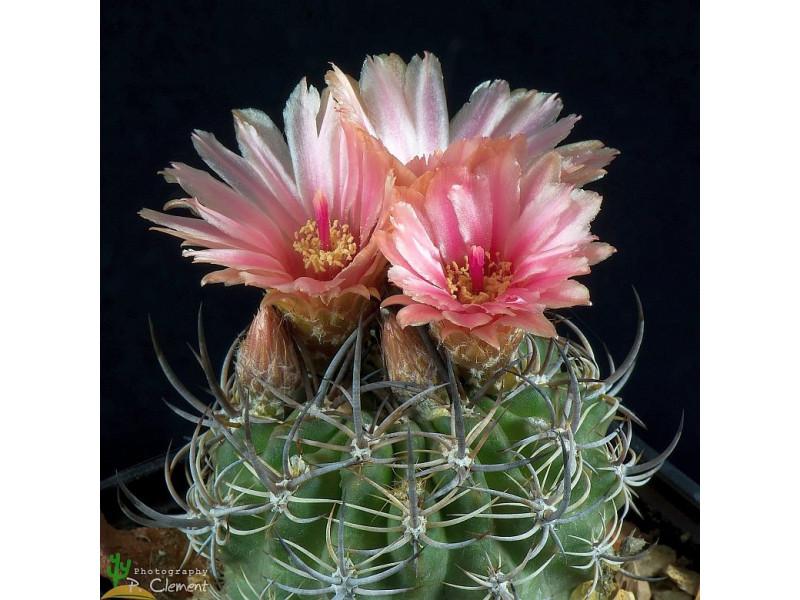 Pyrrhocactus eriosyzoides v. domeykoensis