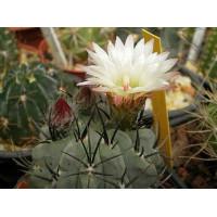 Pyrrhocactus paucicostatus