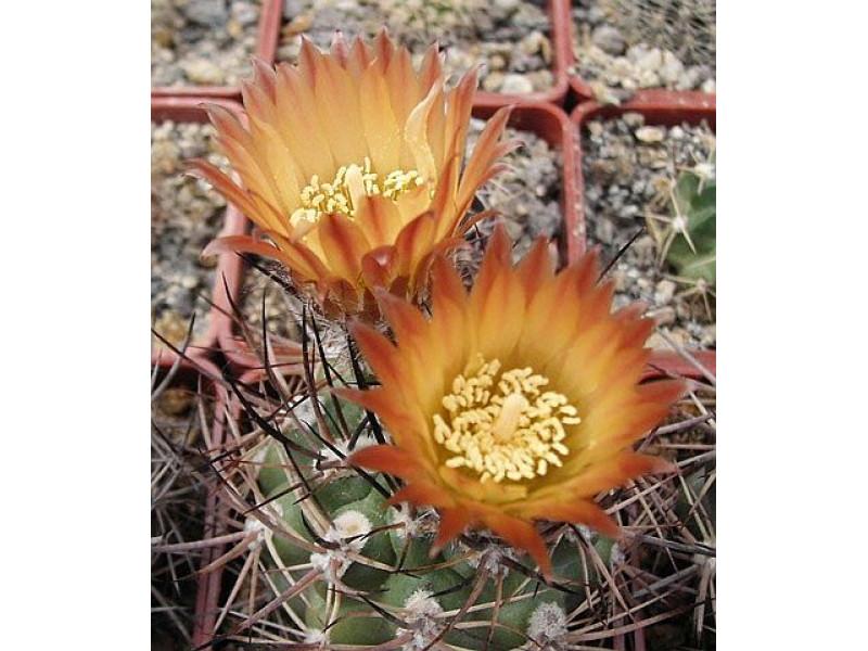 Pyrrhocactus straussianus
