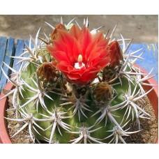 Pyrrhocactus tuberisulcatus