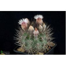 Pyrrhocactus umadeave