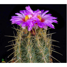 Thelocactus bicolor ssp. bicolor