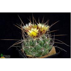 Thelocactus tulensis