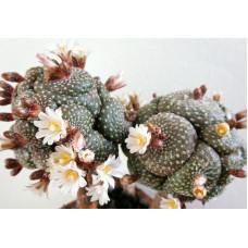 Blossfeldia liliputana