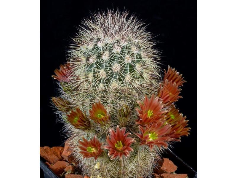 Echinocereus russanthus