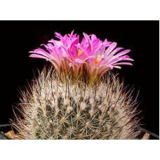 Gymnocactus beguinii