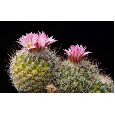 Gymnocactus knuthianus