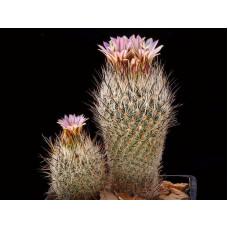 Gymnocactus subterraneus v. zaragosae