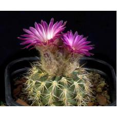 Islaya islayensis v. divaricatiflora