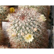 Mammillaria densispina
